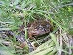 Frog in garden \